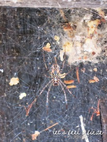 Cairns - Araignée flippante