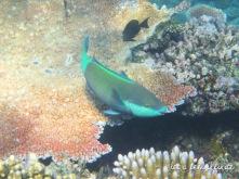 Grande Barrière de Corail - Gros poisson multicolore