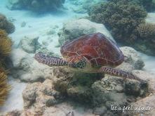 Grande Barrière de Corail - Tortue de mer