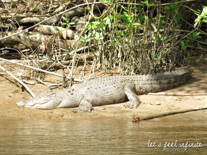 Crocodile de la Daintree River
