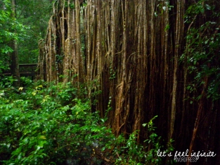 Curtain Fig Tree - Pieds
