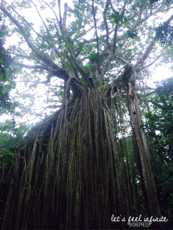Curtain Fig Tree - Sommet