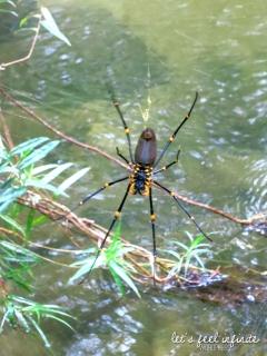 Mossman Gorge - Golden Spider