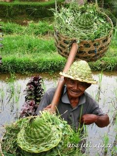 Ubud : Rizières indonésiennes