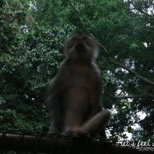 Ubud - Monkey of the Monkey Forest 2