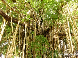 Banyan Caravan Park - Banyan Tree