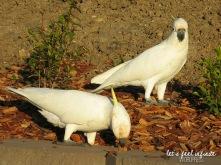 Airlie Beach - Cuckatoos birds 2