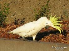 Airlie Beach - Cuckatoos birds 3
