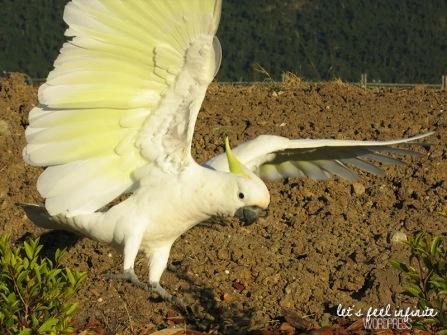 Airlie Beach - Cuckatoos birds