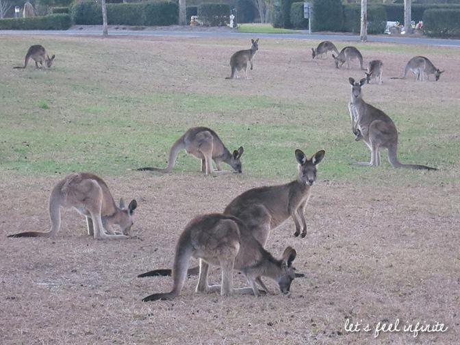 Brisbane - Kangourous du cimetière de Mt Omaney 3