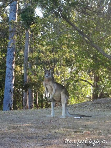 Brisbane - Kangourous du cimetière de Mt Omaney