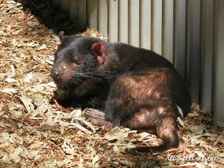 Lone Pine - Diable de Tasmanie