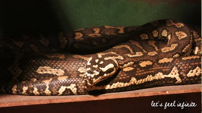 Lone Pine - Diamond python