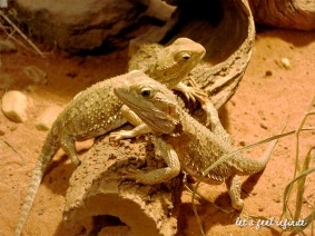 Lone Pine - Dwarf Bearded-dragon
