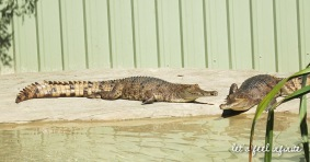 Lone Pine - Fresh water crocodiles