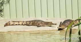 Lone Pine - Fresh water crocodiles