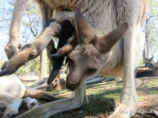 Lone Pine - Kangaroo mom & her baby in pocket 2