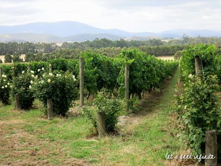 Chandon - Les vignes 3