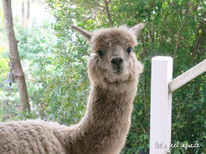 HelpX à Byron Bay - Alice l'Alpaca 3 v3