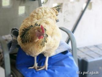 HelpX à Byron Bay - La grosse poule v2