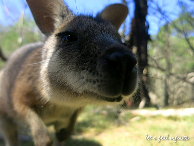 Moonlit Sanctuary - Wallaby
