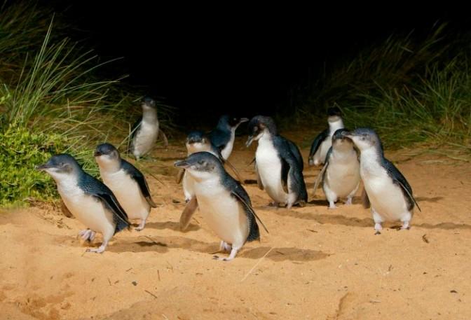 AUSTRALIAN OPEN 2021 - INSCRIPTIONS AUX CONCOURS Penguin-2-700x476