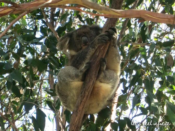 Koalas de Kennett River