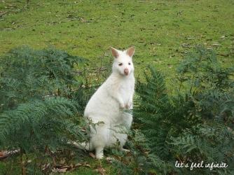 C'est la première fois qu'on voit un wallaby blanc!